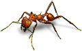 Batchac-Leaf-Cutter-Ant-END